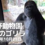 ゴリラ-上野動物園-20191021