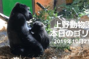 ゴリラ-上野動物園-20191023