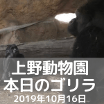 上野動物園-ゴリラ-20191016