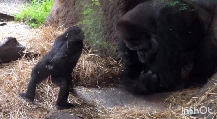 ゴリラ-上野動物園