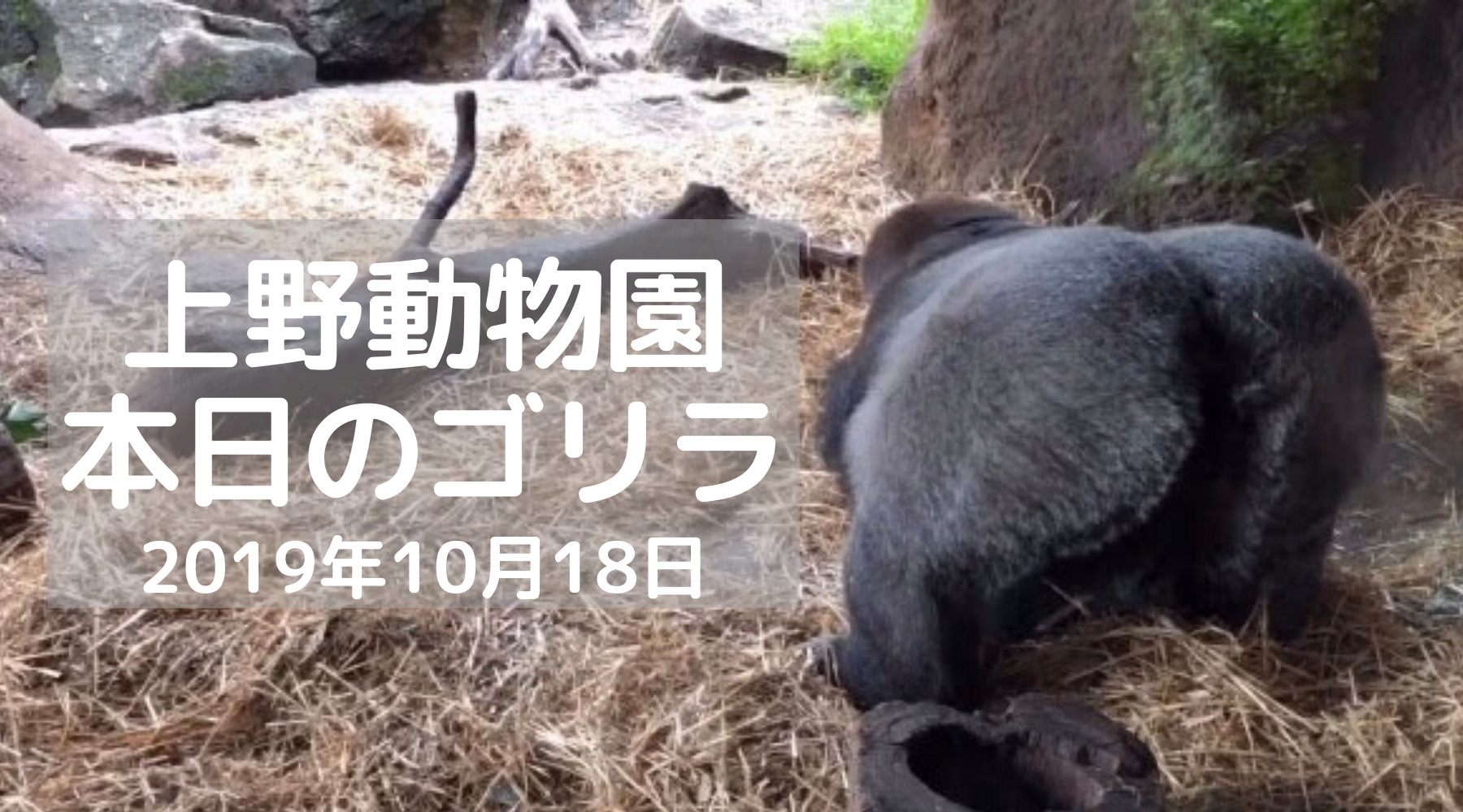 ゴリラ-上野動物園-20191018