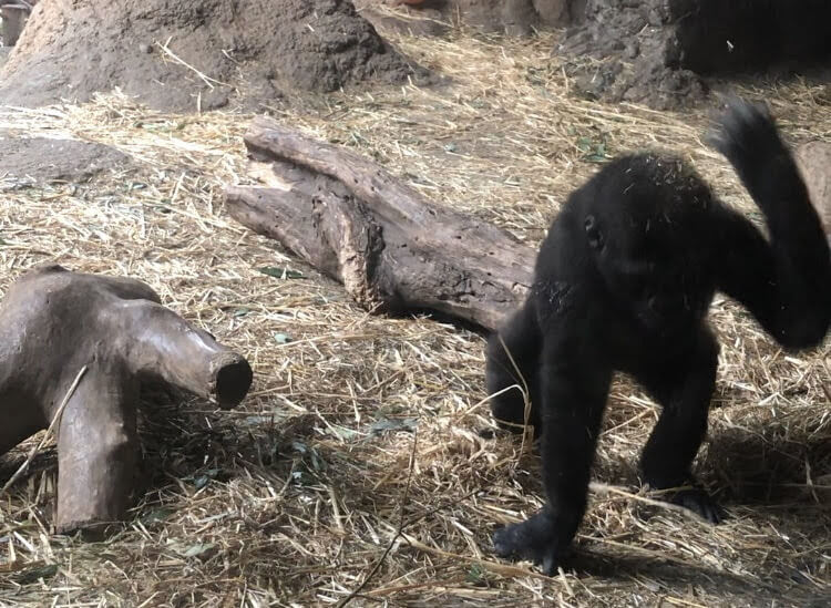 上野動物園-ゴリラ-リキ