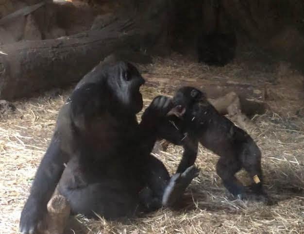 上野動物園-ゴリラ-リキ-コモモ