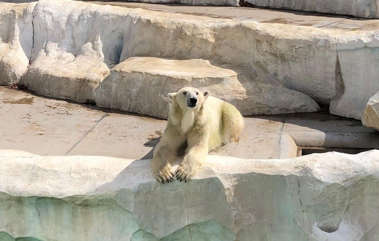 上野動物園-ホッキョクグマ