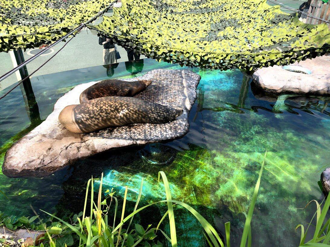上野動物園-アシカ