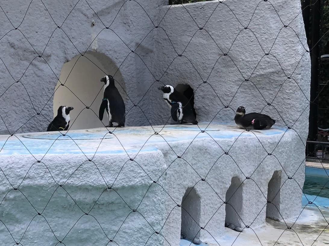 上野動物園-ケープペンギン
