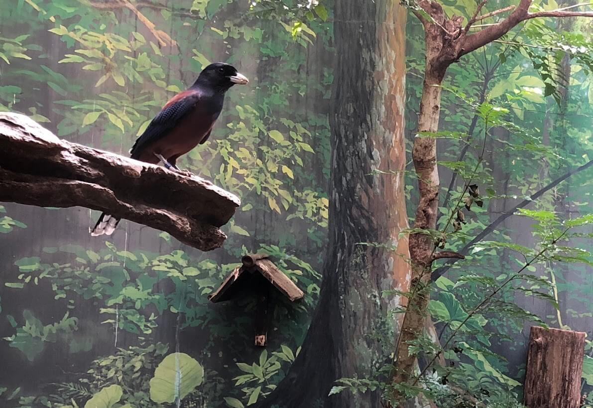 上野動物園-ルリカケス