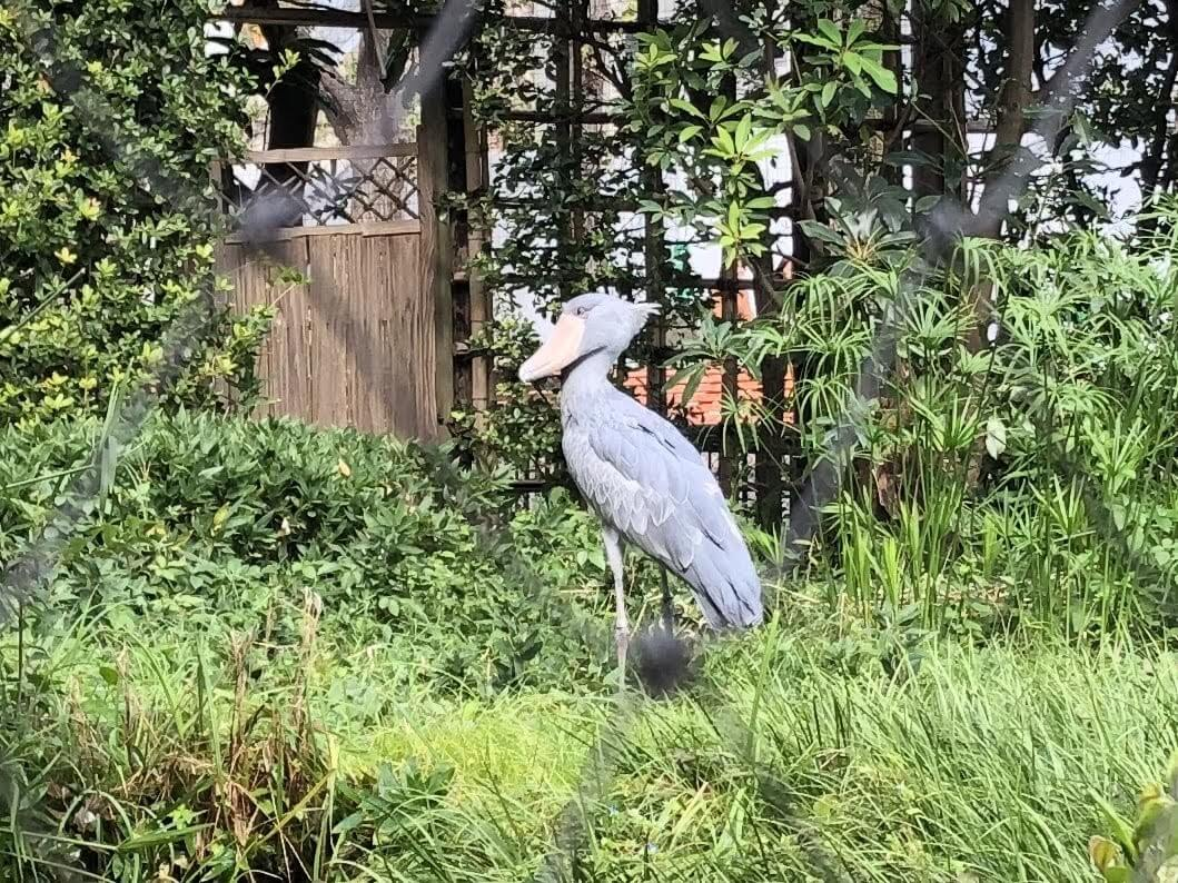 上野動物園-ハシビロコウ