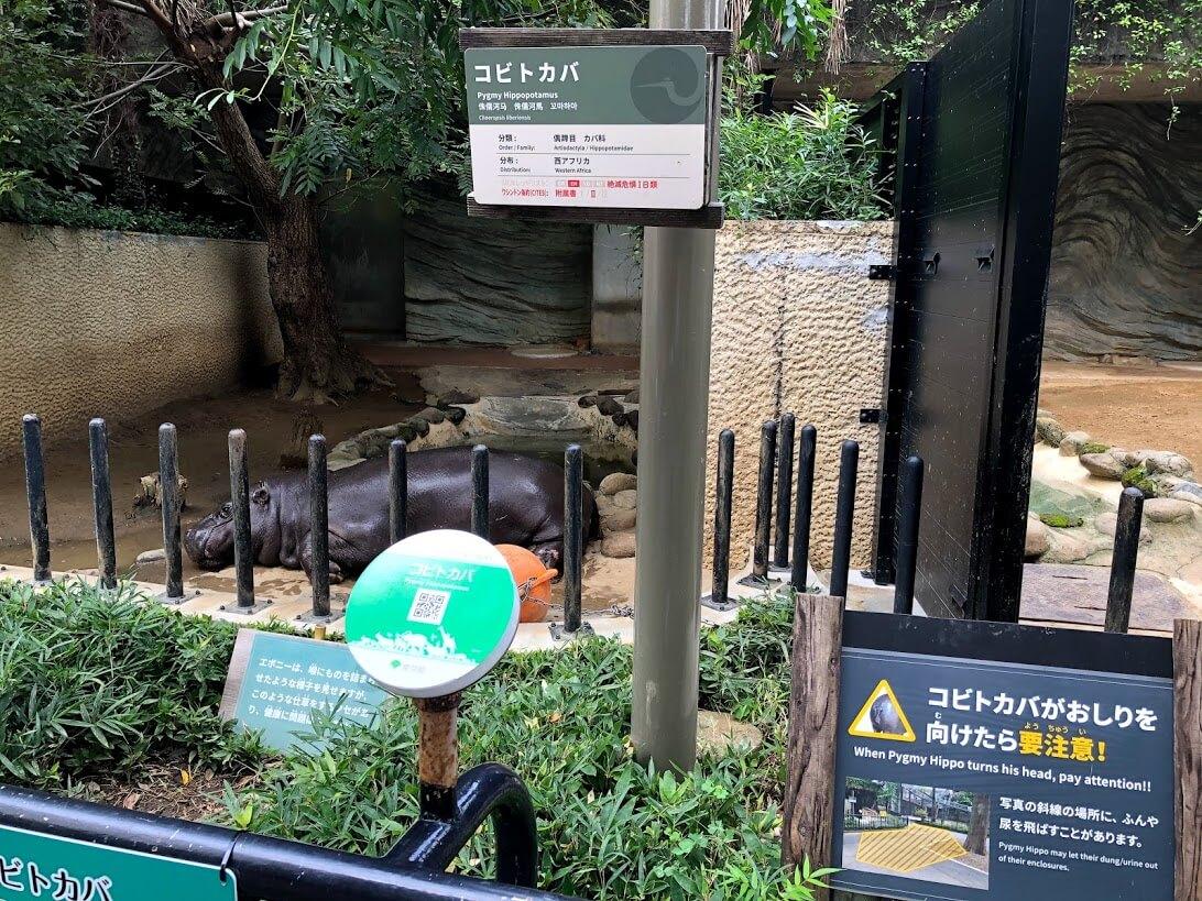 上野動物園-コビトカバ