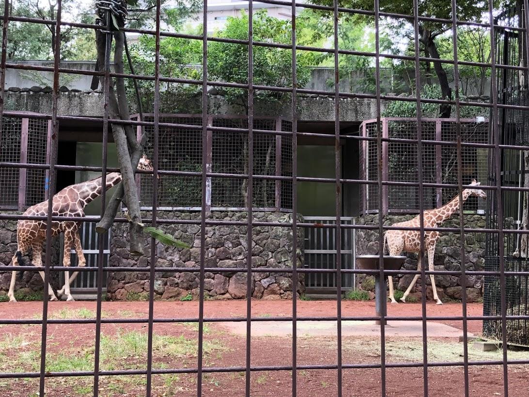 上野動物園-キリン