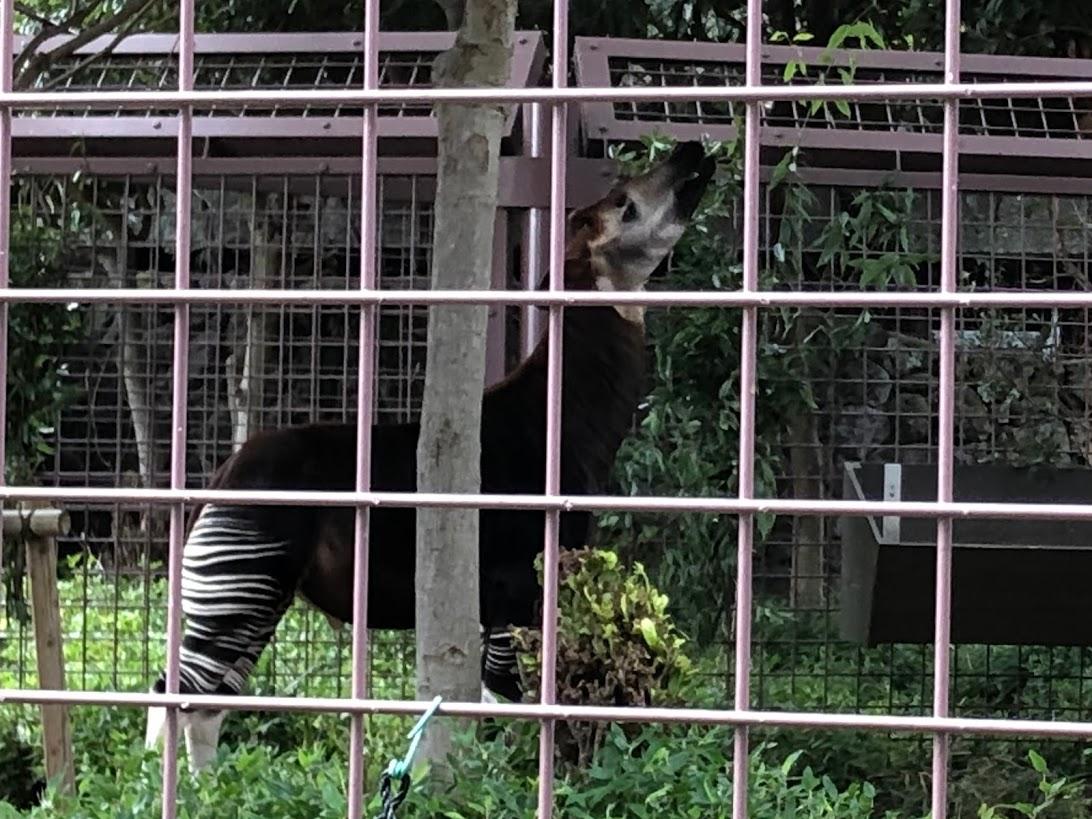 上野動物園-オカピ