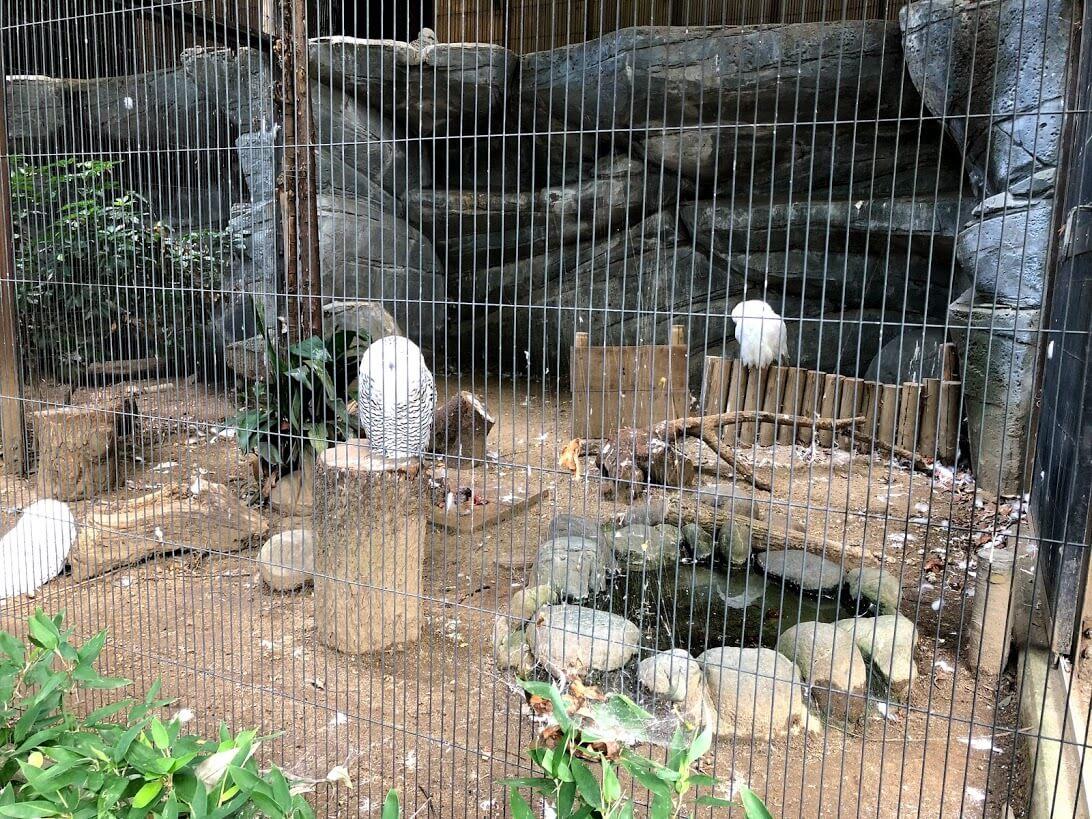 上野動物園-シロフクロウ