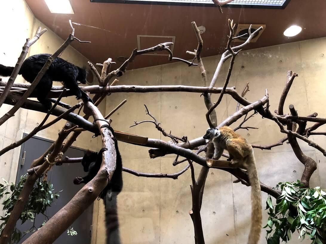 上野動物園-クロキツネザル