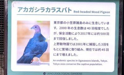 上野動物園-アカガシラカラスバト