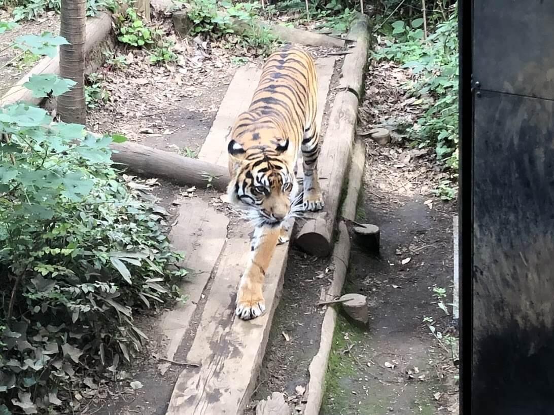上野動物園-トラ