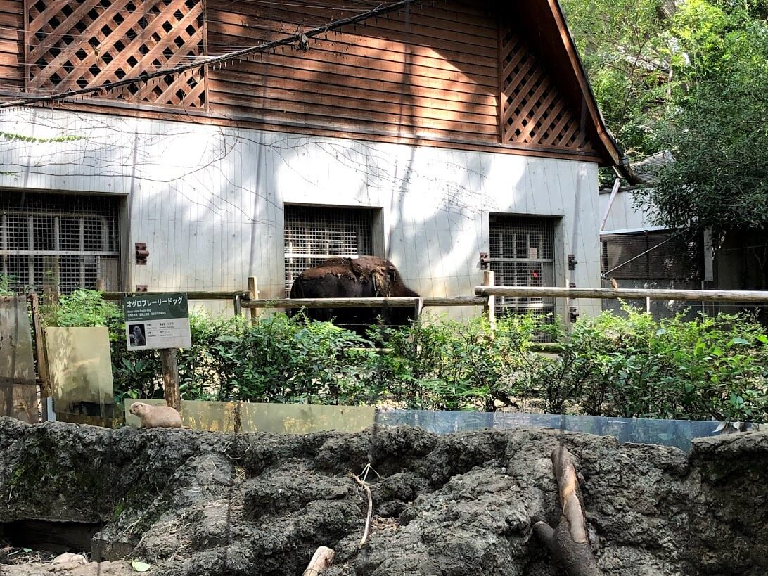 上野動物園-バイソン