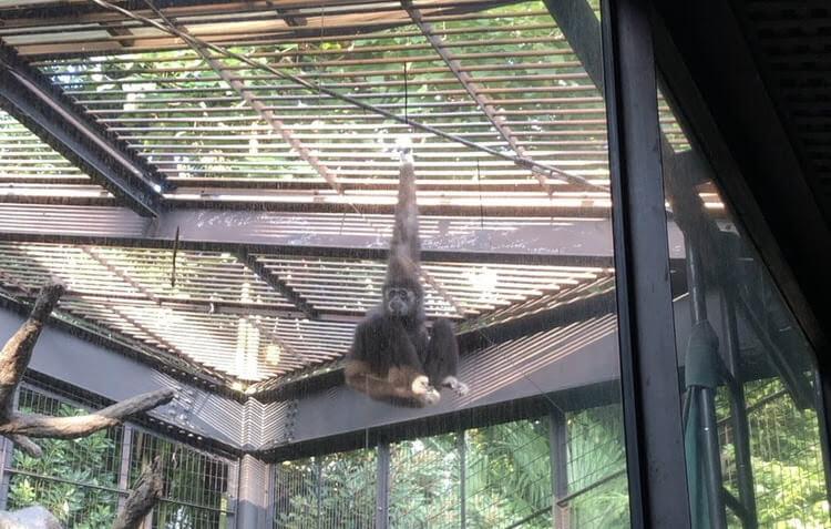 上野動物園-シロテテナガザル