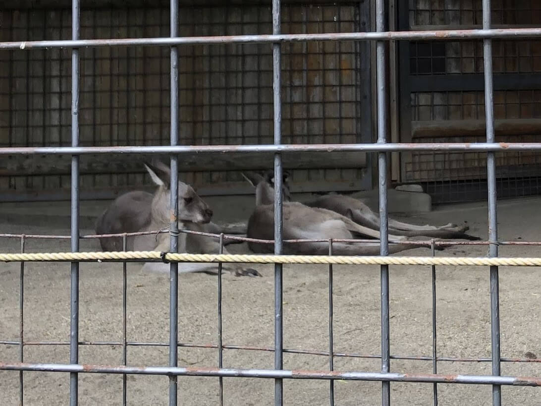 上野動物園-カンガルー