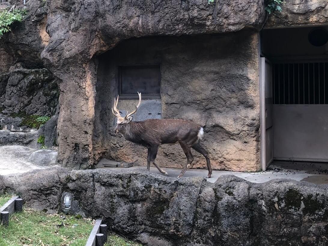 上野動物園-エゾシカ