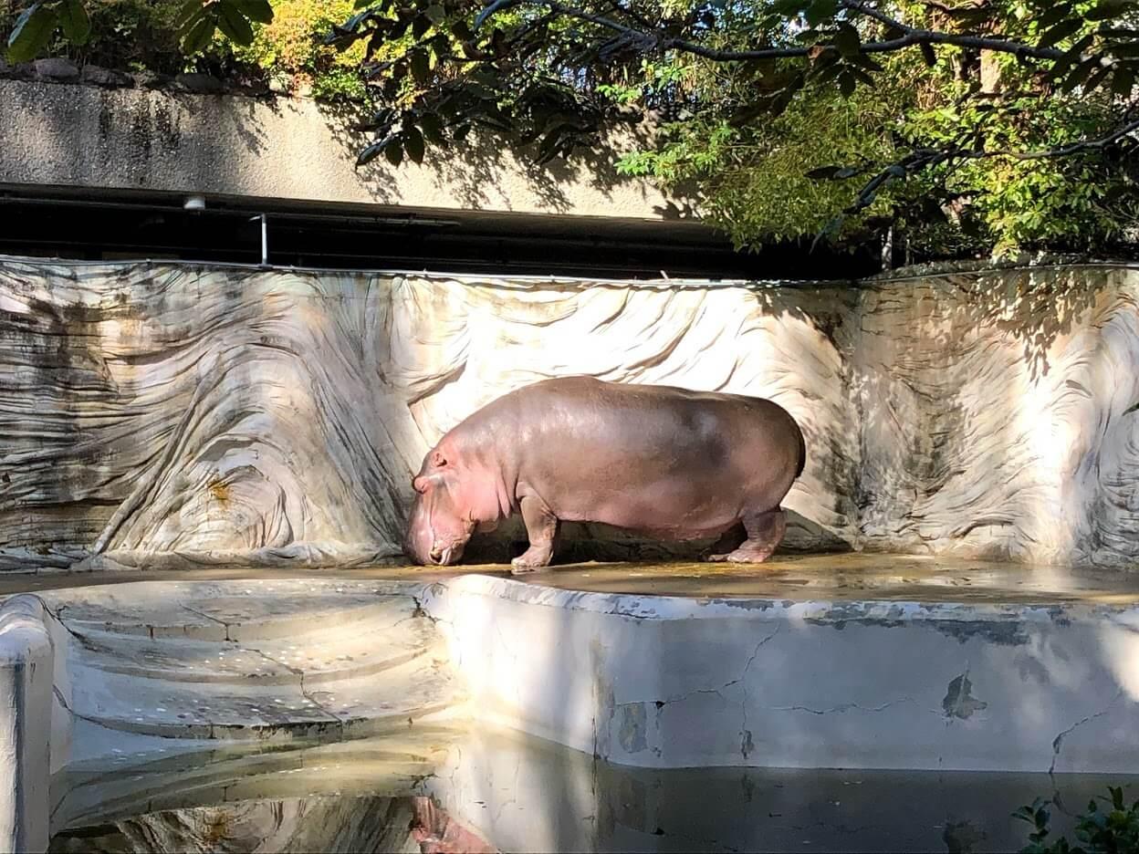 上野動物園-カバ