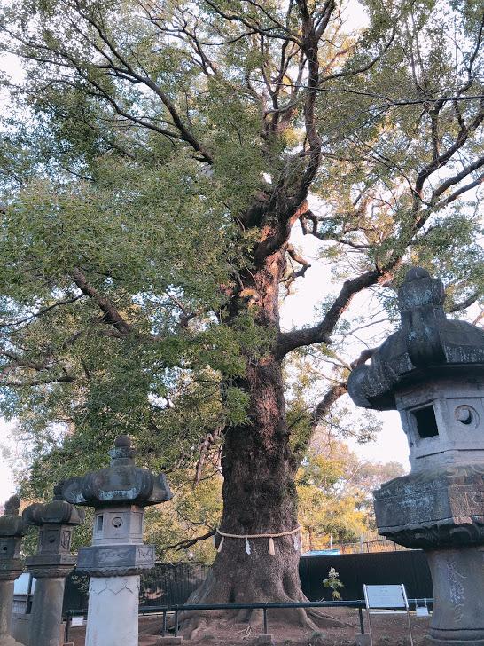 上野東照宮-御神木
